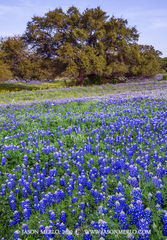 2012032607, Texas bluebonnets and live oak tree