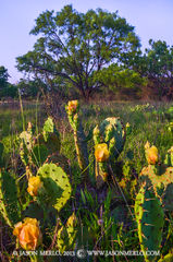 San Saba County, Texas Hill Country, Texas Cross Timbers, prickly pear cactus, Opuntia engelmannii, mesquite, tree, Prosopis glandulosa, wildflowers