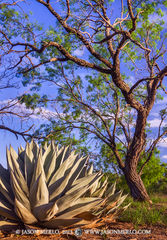 2013052609, Agave and mesquite