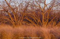 San Saba County, Texas Cross Timbers, Texas Hill Country, mesquite, tree, Prosopis glandulosa, bee brush, Aloysia gratissima