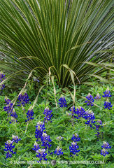 Austin, University of Texas, campus, sotol, Dasylirion texanum, Texas bluebonnets, Lupinus texensis