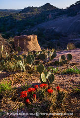 Enchanted Rock State Natural Area, state park, Texas Hill Country, Llano, Fredericksburg, Llano County, Gillespie County, Llano Uplift, claret cup cactus, Echinocereus triglochidiatus, wildflowers