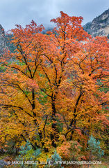 Guadalupe Mountains National Park, West Texas, Culberson County, Chihuahuan Desert, McKittrick Canyon, fall color, bigtooth maple, tree, Acer grandidentatum