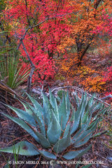 Guadalupe Mountains National Park, West Texas, Culberson County, Chihuahuan Desert, McKittrick Canyon. agave, Agave havardiana, fall color, bigtooth maple, trees, Acer grandidentatum