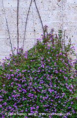 2015030710, Flowers on limestone