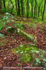 San Saba County, Texas Cross Timbers, Texas Hill Country, cedar elm, trees, Ulmus crassifolia, sandstone, lichen