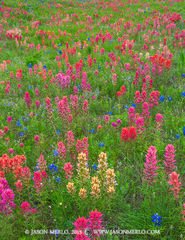 Texas Hill Country, Mason County, Gillespie County, Llano Uplift, prairie paintbrushes, Castilleja purpurea, Texas bluebonnets, Lupinus texensis