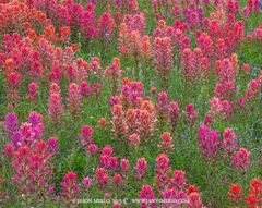 Texas Hill Country, Mason County, Gillespie County, Llano Uplift, prairie paintbrushes, Castilleja purpurea, wildflowers