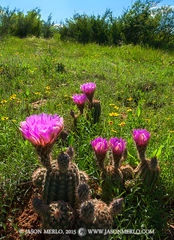 San Saba County, Texas Cross Timbers, Texas Hill Country, lace cactus, Echinocereus reichenbachii, wildflowers