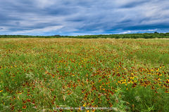 San Saba County, Texas Cross Timbers, Texas Hill Country, mexican hats, Ratibida columnifera, wildflowers