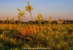 Lampasas County, Texas Cross Timbers, Buckley yucca, Yucca constricta