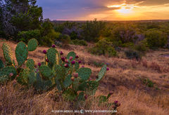 Enchanted Rock State Natural Area, state park, Texas Hill Country, Llano, Fredericksburg, Llano County, Gillespie County, Llano Uplift, prickly pear, cactus, Opuntia engelmannii