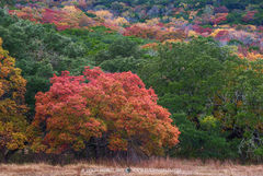 Balcones Canyonlands National Wildlife Refuge, Burnet County, Texas Hill Country, fall color, red oak, Quercus texana