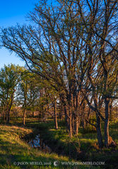 San Saba County, Texas Hill Country, Texas Cross Timbers, cedar elm, trees, Ulmus crassifolia