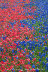 2016032901, Texas bluebonnets and Texas paintbrushes