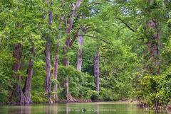 2016050902, Cypress trees on Onion Creek