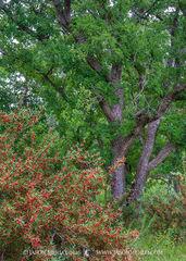 San Saba County, Texas Hill Country, Texas Cross Timbers, agarita, Mahonia trifoliolata, cedar elm, trees, Ulmus crassifolia