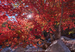 Guadalupe Mountains National Park, West Texas, Culberson County, Chihuahuan Desert, Pine Springs Canyon, fall color, bigtooth maple, tree, Acer grandidentatum