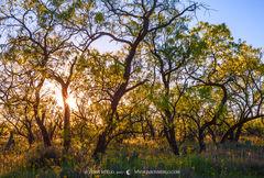 Texas Hill Country, Mason County, Llano Uplift, mesquite, trees, Prosopis glandulosa, groundsel, Senecio ampullaceus, sunset