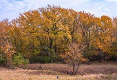 San Saba County, Texas Cross Timbers, Texas Hill Country, cedar elm, trees, Ulmus crassifolia, fall color