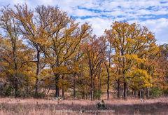 2017110504, Cedar elms in fall color