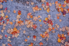2017110803, Maple leaves on limestone