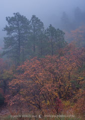 2017110804, Maples and pines in fog