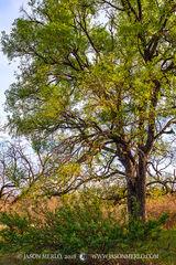 San Saba County, Texas Cross Timbers, Texas Hill Country, agarita, Mahonia trifoliolata, cedar elm, tree, Ulmus crassifolia