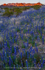 Big Bend National Park, Brewster County, West Texas, Chihuahuan Desert, Big Bend bluebonnets, Lupinus havardii, Chisos Mountains