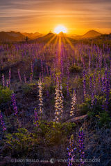 Big Bend National Park, West Texas, Chihuahuan Desert, bluebonnet, Lupinus havardii, Big Bend Bluebonnet, Chisos Mountains, sunrise