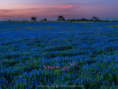 2019032601, Texas paintbrushes and sandyland bluebonnets at dusk