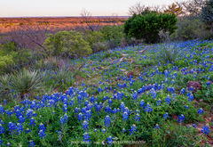 2019033101, Hillside bluebonnets