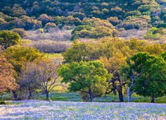 Llano County, Texas Hill Country, Texas bluebonnets, Lupinus texensis, wildflowers, whitetail deer, Odocoileus virginianus