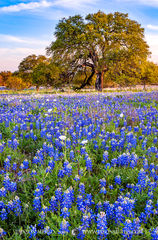 Mason County, Texas Hill Country, bluebonnet, Lupinus texensis, wildflowers, live oak, Quercus virginiana, white prickly poppies, Argemone albiflora