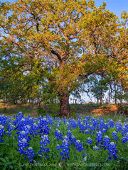 2019040801, Bluebonnets and post oak