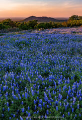2019040902, Texas bluebonnets at sunset
