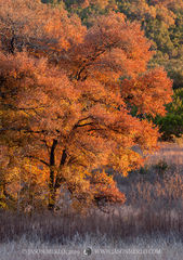 Balcones Canyonlands National Wildlife Refuge, Texas Hill Country, tree, autumn, fall, cedar elm, Ulmus crassifolia