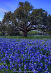 2020033103, Texas bluebonnets and live oak