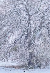 2021011002, Post oak in snowstorm