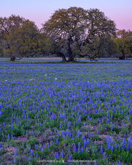 2021032001, Bluebonnets at dusk