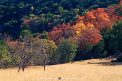 Lost Maples State Natural Area, park, Texas Hill Country, Bandera County, Vanderpool, bigtooth maple, Acer grandidentatum