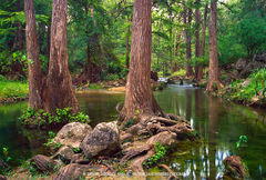 Honey Creek State Natural Area, Texas Hill Country, Comal County, Boerne, Guadalupe River State Park, cypress, trees, Taxodium distichum