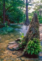41HAY00028, Cypress stump and log on Onion Creek