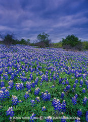 41SSA00591, Texas bluebonnets under cloudy skies