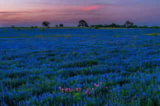 Atascosa County, South Texas, post oak savanna, sandyland bluebonnet, Lupinus subcarnosus, wildflowers, Texas paintbrush, Castilleja indivisa