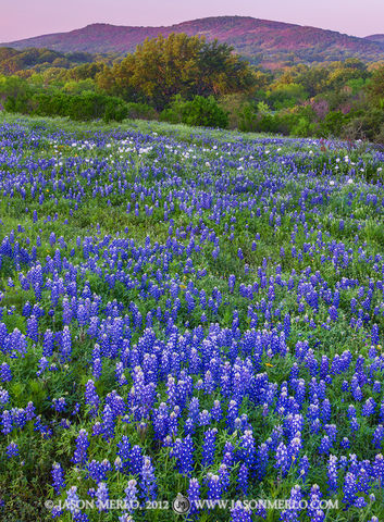 Llano County, Texas Hill Country, Texas bluebonnets, Lupinus texensis, wildflowers, white prickly poppies, Argemone albiflora