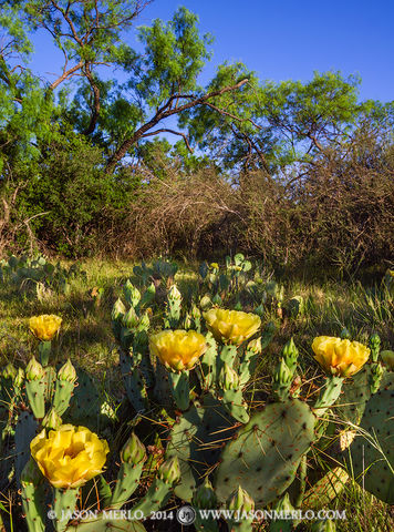 San Saba County, Texas Cross Timbers, Texas Hill Country, prickly pear cactus, Opuntia engelmannii, bloom