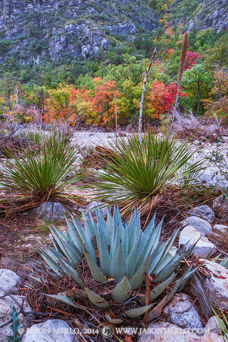 Guadalupe Mountains National Park, West Texas, Culberson County, Chihuahuan Desert, McKittrick Canyon, bigtooth maple, trees, Acer grandidentatum, agave, Agave havardiana, sotol, Dasylirion texanum