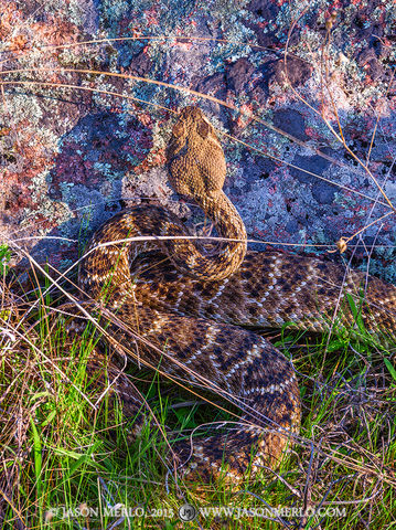 Inks Lake State Park, Burnet County, Llano Uplift, Texas Hill Country, rattlesnake, Crotalus atrox