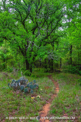 San Saba County, Texas Cross Timbers, Texas Hill Country, cedar elm, trees, Ulmus crassifolia
